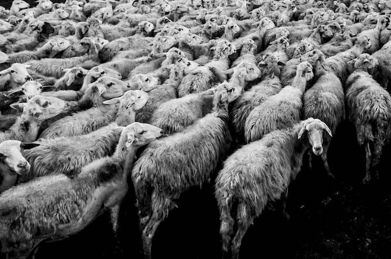 圧縮されそうな羊