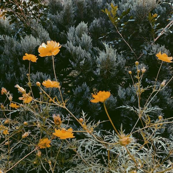 懐かしい雰囲気のする黄色のお花